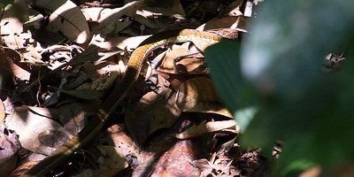 Common Brozeback Tree Snake