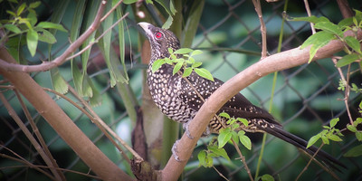 Asian Koel - Female
