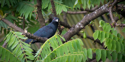 Asian Koel - Male