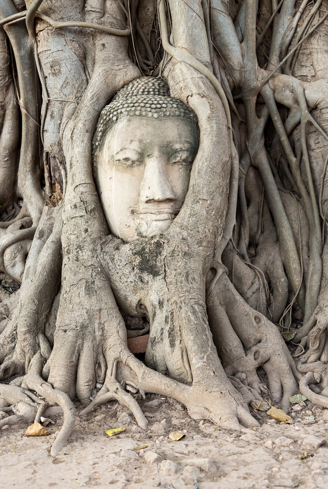 Buddha in Roots, Ayutthaya