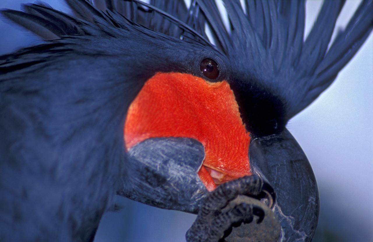 Palm Cockatoo Sharpens Beak
