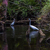 Egrets in Pond