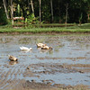 Ducks in rice paddy, Bali Highlands, Indonesia