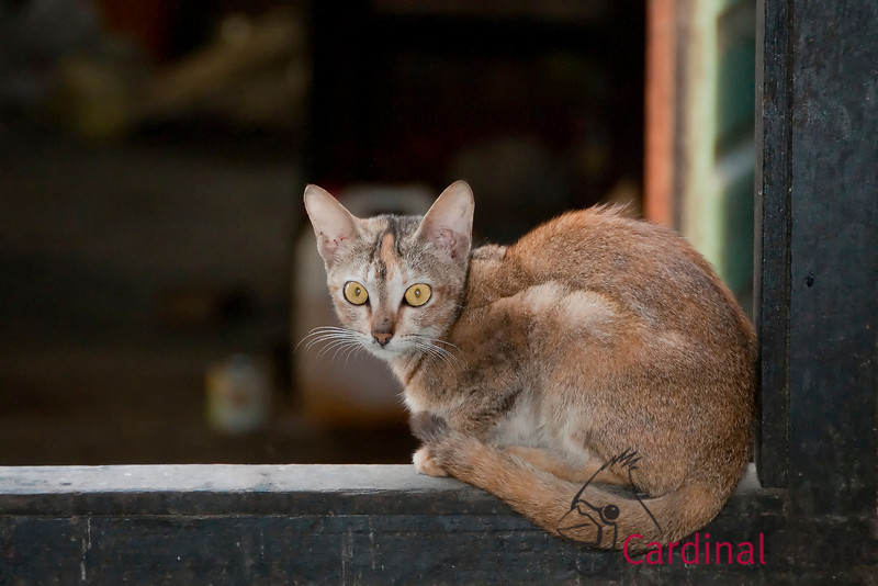 Nuns' Pet cat at the Zayar Thein Gyi Nunnery posed in a window sill waiting for scraps after the monastery's daily meal  in Sagaing near Mandalay, Burma, Myanmar, Southeast Asia