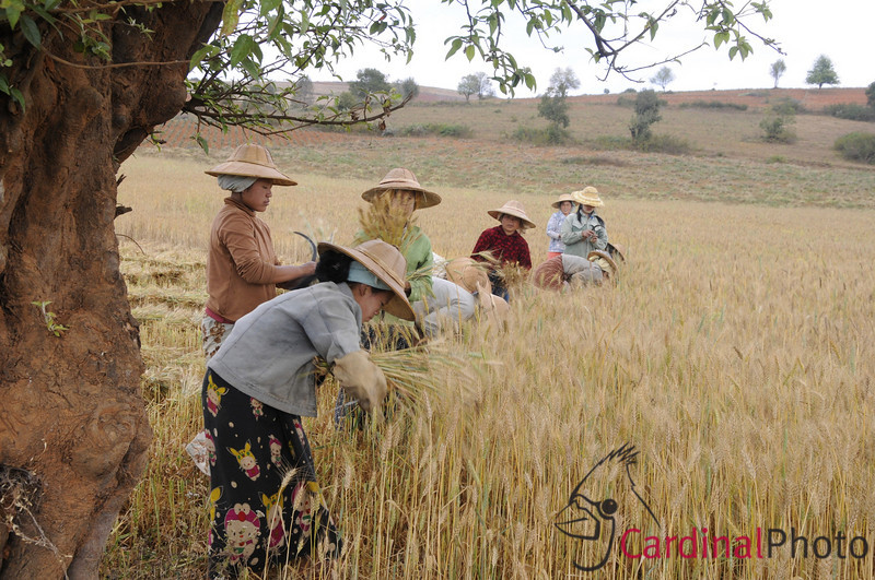 Women harvesting rice who are paid by acre for the land they harvest. Shan villagers in the Inle Lake Area, Shan State, Myanmar (Burma), Southeast Asia