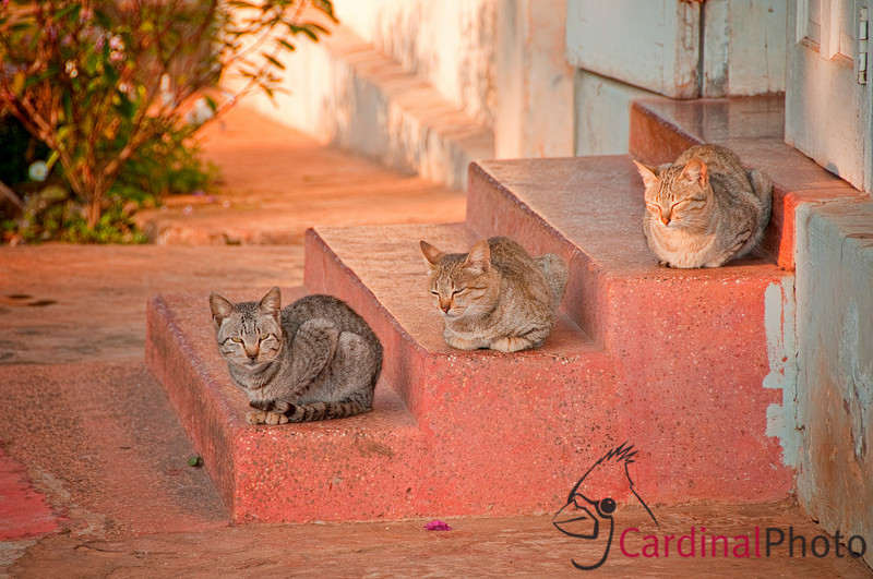 Three calico cats sunning themselves and resting at a Buddhist Monastery in Kalaw, Shan State near Heho, Myanmar, Burma, Southeast Asia