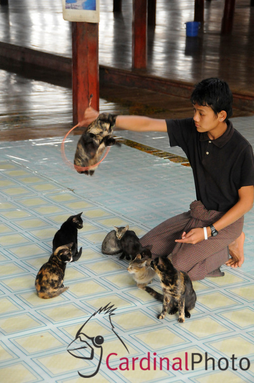 Famous Trained Jumping Cats with Trainer Performing at the Nga Phe Kyaung Monastery on Inle Lake, Shan State, Myanmar (Burma), Southeast Asia