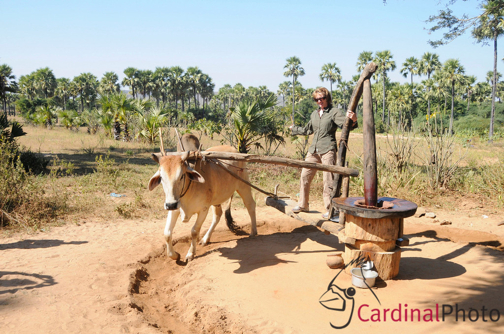 Bagan, Plain of Temples and Surrounding Villages, Myanmar (Burma), Peanut Oil making by grinding peanuts with a mill and an ox, Eco-tourist opportunity as visiting woman tries her hand at the process