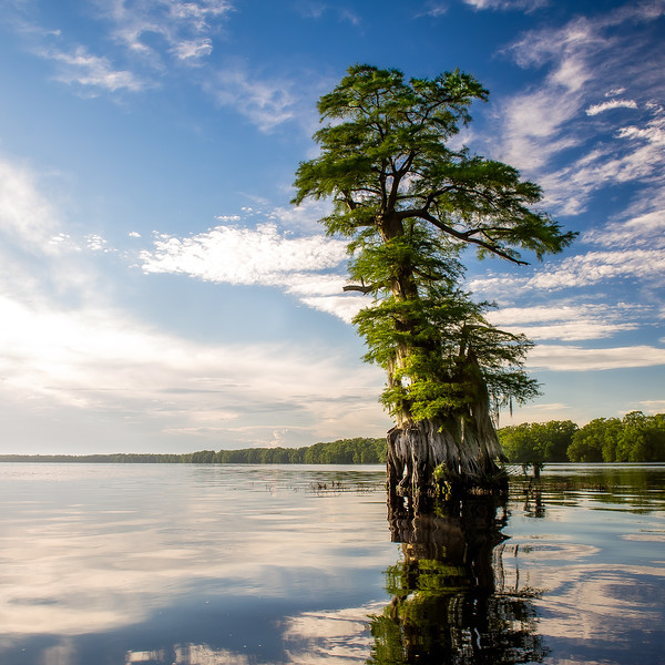 Ghost Tree; Lake Drummond; Great Dismal Swamp; Virginia; USA