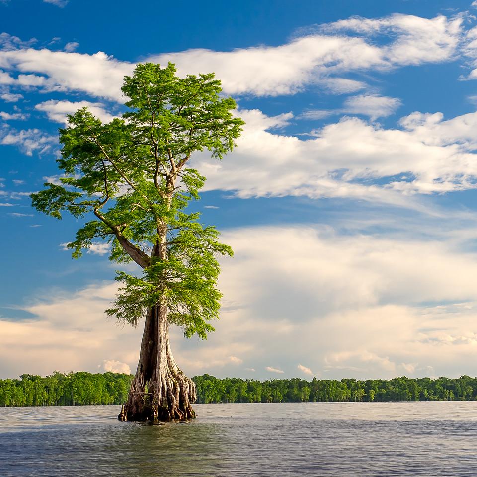 Baldcypress; Lake Drummond; Great Dismal Swamp; Virginia; USA