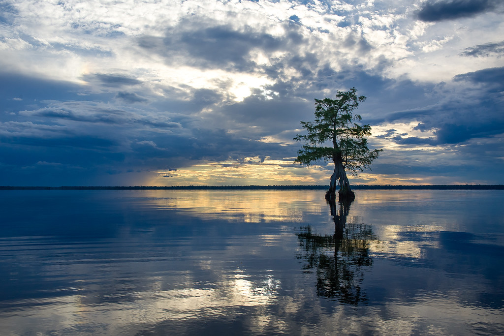 Horseshoe Tree; Lake Drummond; Great Dismal Swamp; Virginia; USA