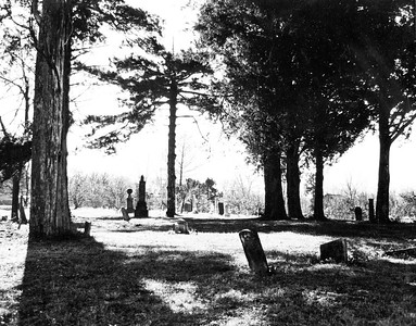 Ceadar Trees