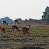 Impalas at early morning