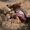 seven adult lions and seven cubs and yearlings make short work of the buffalo.