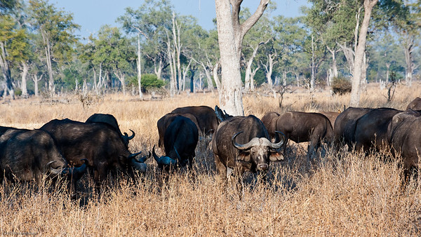 The victim - African buffalo
