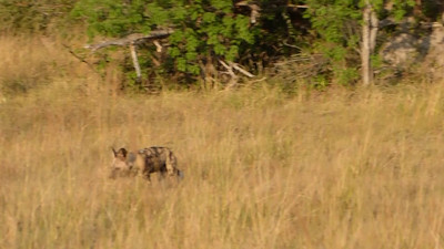 Wild painted dogs hunting