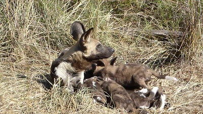 Wild dog nursing pups