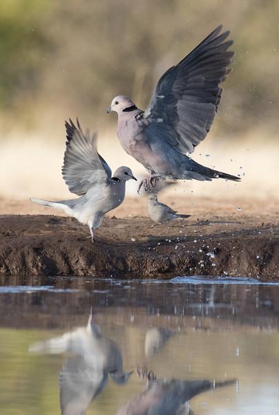 Mashatu Game Reserve, Botswana. Cape turtle doves.