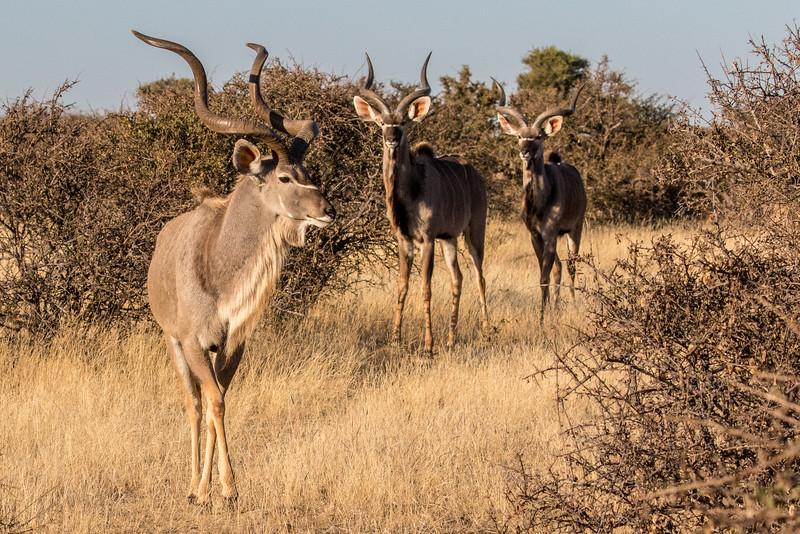 Mashatu Game Reserve, Botswana. Kudus.
