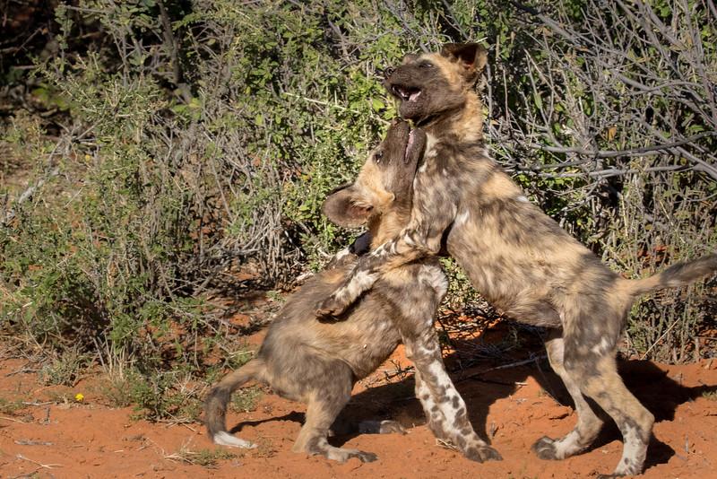 Tswalu Kalahari Reserve, South Africa.  African wild dogs.