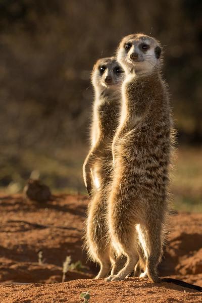 Tswalu Kalahari Reserve, South Africa.  Meercats.