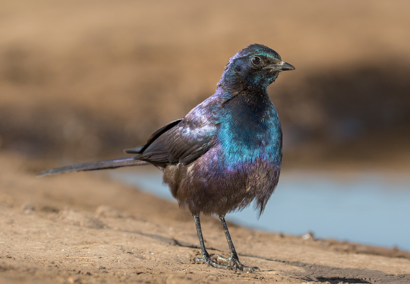 Mashatu Game Reserve, Botswana. Meves' starling.