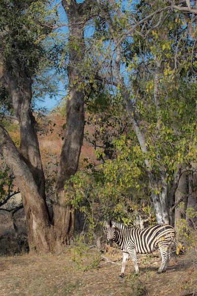 Mashatu Game Reserve, Botswana. Burchell's zebra.