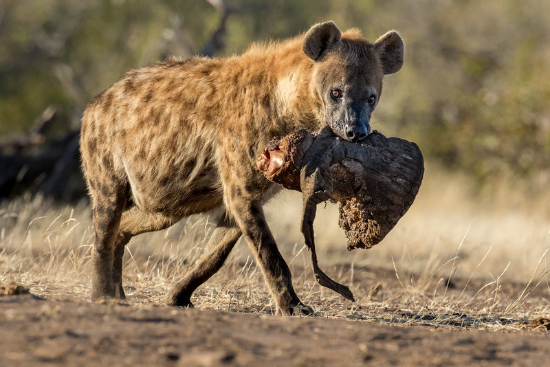Mashatu Game Reserve, Botswana.  Hyena with scavenged elephant foot.