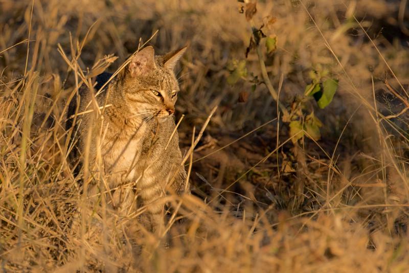 Mashatu Game Reserve, Botswana.  African wild cat.