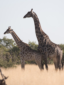 Mating Giraffe