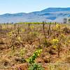 Vineyard, near Ambalavao, Madagascar