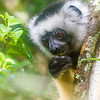 A diademed sifaka (Propithecus diadema) in the Analamazaotra Special Reserve, Madagascar