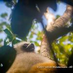 A diademed sifaka (Propithecus diadema) in the Analamazaotra Special Reserve, Madagascar