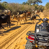Better be safe than sorry, letting a herd of zebu pass while towing the guide's quad broke down quad, near Manombo, Madagascar