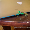 A Praying Mantis visited to help editing photos, Hotel de la Plage, Ifaty, Madagascar