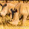 A group of three white rhinoceros, early morning Rhino tracking at Otjiwa Safari Lodge, Namibia