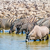 A gemsbok and Burchell's zebras quenching their thirst in the midday sun at the Okaukuejo Waterhole, Etosha National Park, Namibia