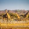 Angolan giraffes at the Chudop Waterhole, Etosha National Park, Namibia