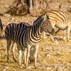 Burchell's Zebras, Ombika Waterhole, Etosha National Park, Namibia
