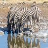 Burchell's Zebras drinking from the Moringa Waterhole, Etosha National Park, Namibia