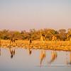 Angolan giraffes quenching their late afternoon thirst at the Klein Namutoni Waterhole, Etosha National Park, Namibia