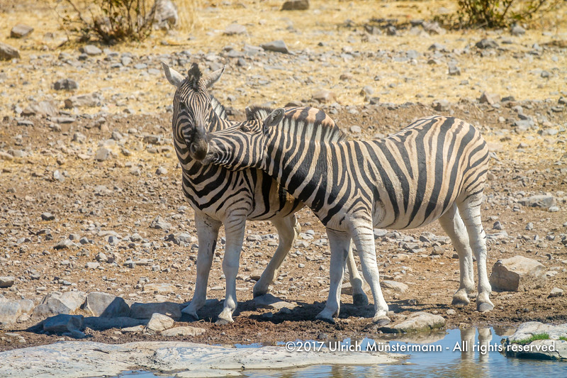 Love is in the air, two Burchell's Zebras, Moringa Waterhole, Etosha National Park, Namibia
