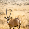A gemsbok in the afternoon sun near the Nebrownii Waterhole, Etosha National Park, Namibia