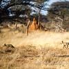 Bat-eared foxes, Otjiwa Safari Lodge, Namibia