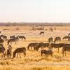 Burchell's Zebras grazing near the Ombika Waterhole, Etosha National Park, Namibia