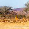 A herd of blesbok (Damaliscus pygargus phillipsi), Otjiwa Safari Lodge, Namibia