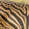 Burchell's zebra individual striping pattern, near Salvadora Waterhole, Etosha National Park, Namibia
