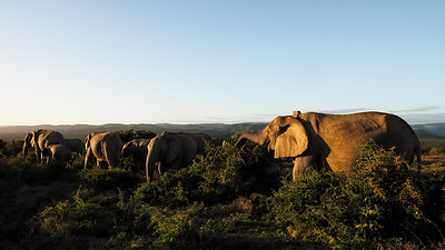Elephant - Addo National Park