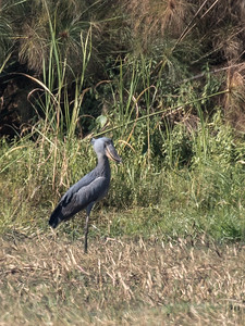 Not so great picture of a Shoebill stork.  Better next time!