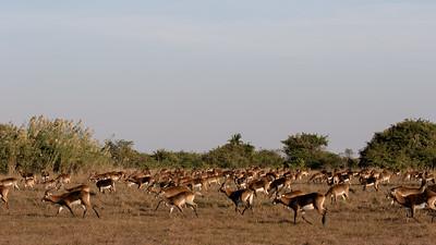 Some of the 20,000 Black Lechwe at Bangweulu wetland